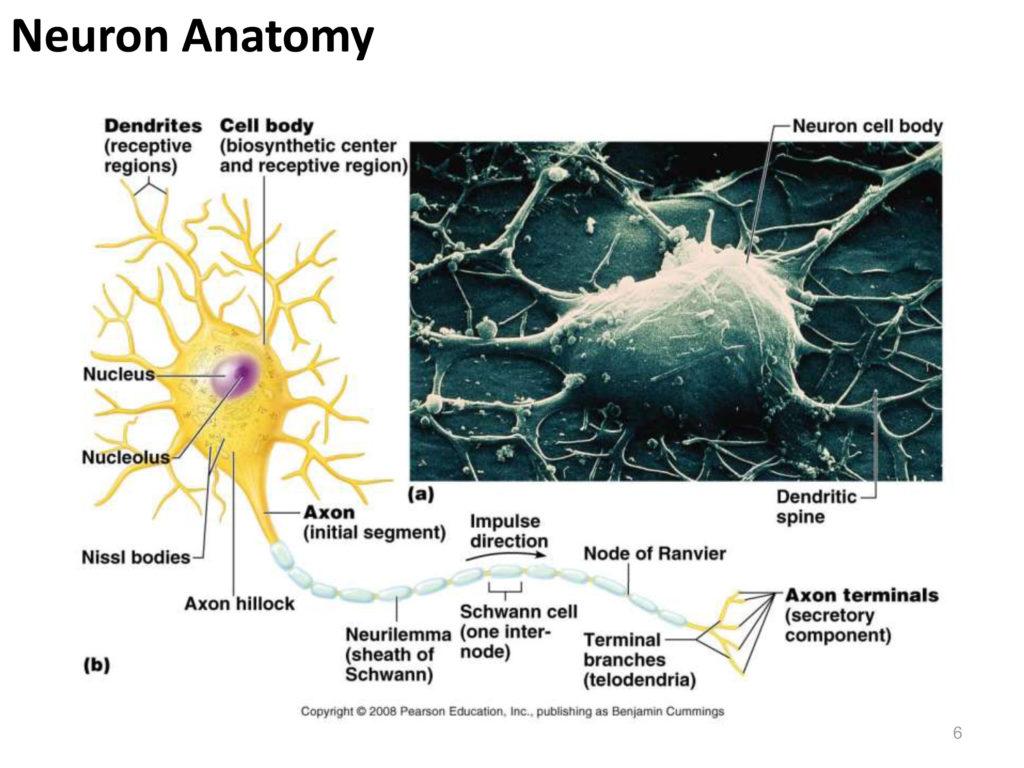 Neuron Anatomy Anatomy