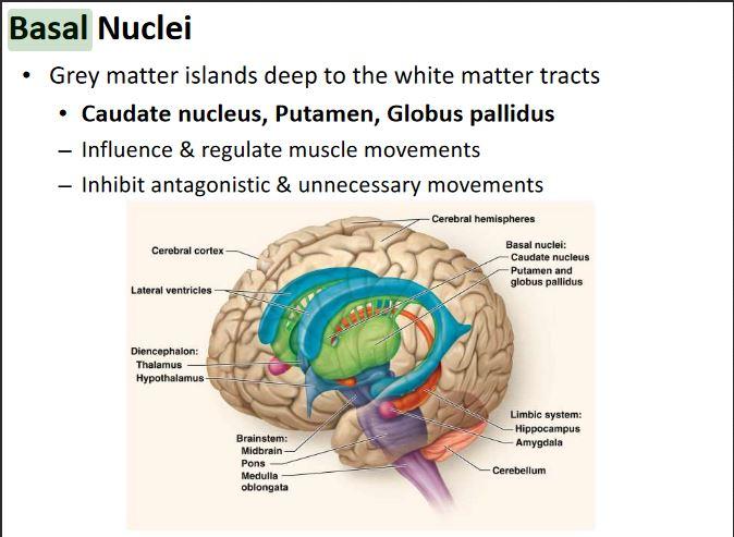 Basal Nuclei Anatomy